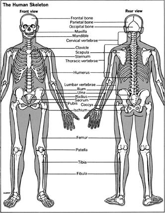 The Skeleton - The axial skeleton