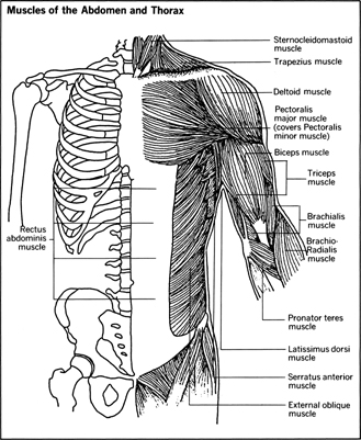 Skeletal Muscle The Muscles Body