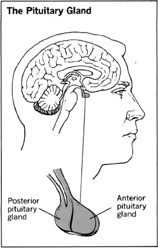 why pituitary gland is known as master gland