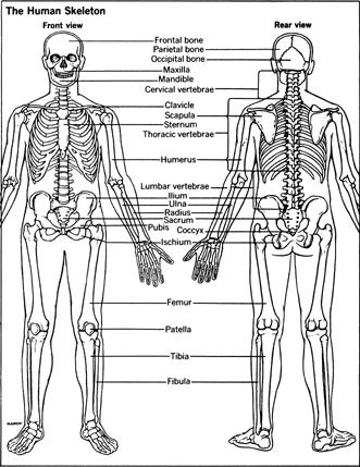 human skeleton skull. The Human Skeleton