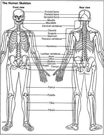 other diagnostic tests - physicians and diagnostic procedures, Skeleton