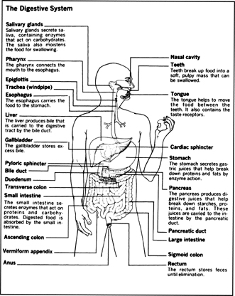 The Human Digestive System With Their Function on human heart location diagram