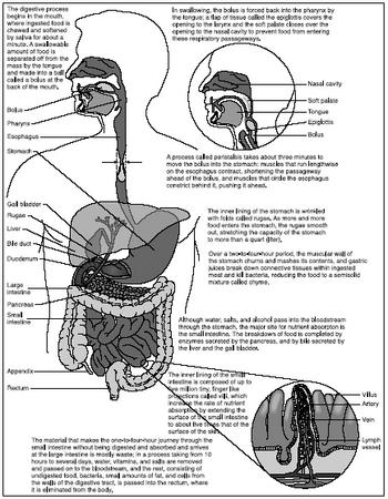 design: parts of the digestive system - the digestive system, Human Body