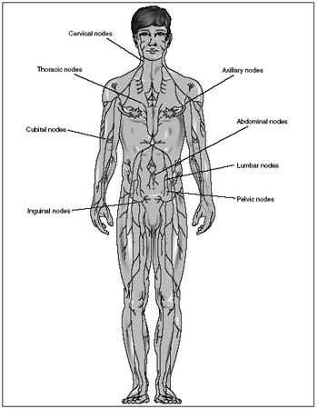 design  parts of the lymphatic system
