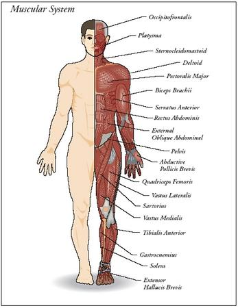 design: parts of the muscular system - the muscular system - blood, Muscles