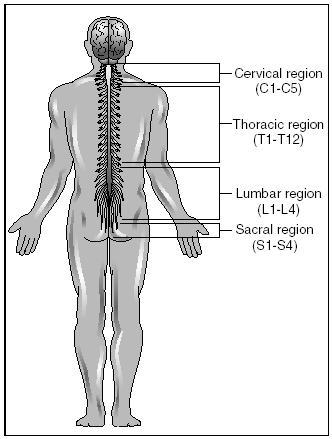 Design Parts Of The Nervous System The Nervous System Blood