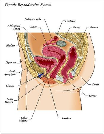 The female reproductive system. (Illustration by Kopp Illustration Inc ...