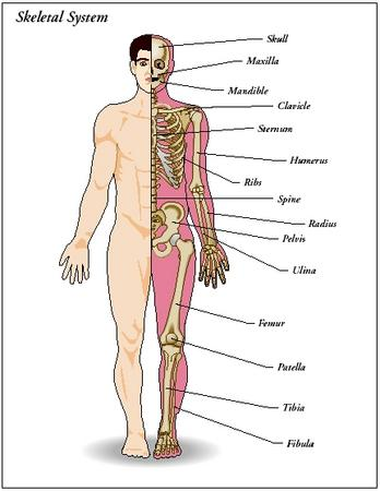 design: parts of the skeletal system - the skeletal system - blood, Skeleton