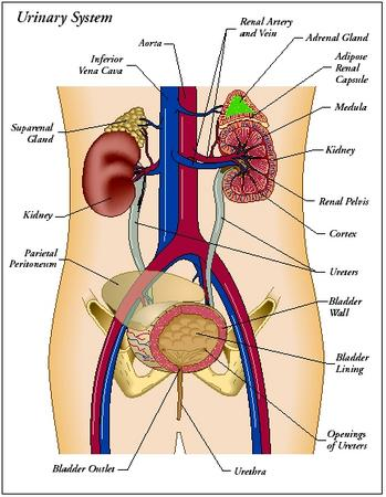 Design: parts of the urinary system - The Urinary System - blood ...