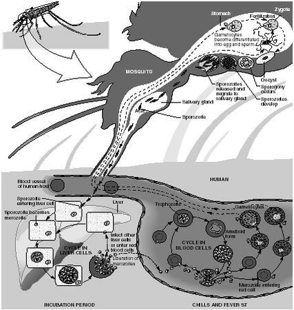 Symptoms Malaria Blood Body Human People