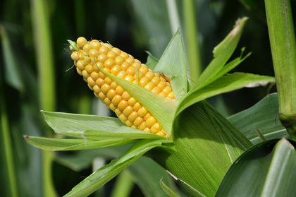 Corn Or Maize Based Diets 2141