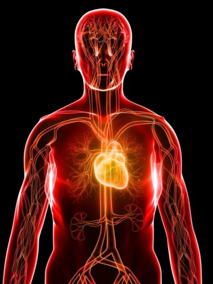 The Cardiovascular System Workings How The Cardiovascular System Functions 2639