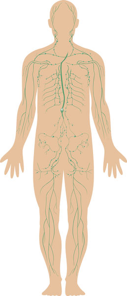 The Lymphatic System 2562