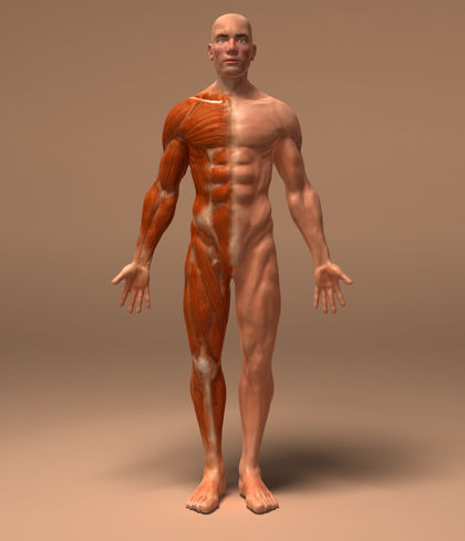 the muscular system - blood, body, parts, food, care, Muscles