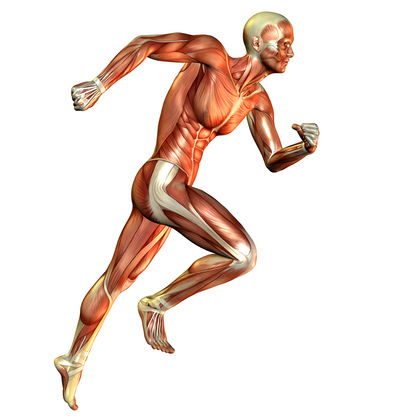 workings: how the muscular system functions - the muscular system, Human Body