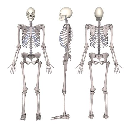 "remix of ""the skeletal system"" - thinglink, Human Body"