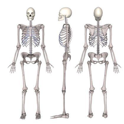 skeletal system definition for kids k--k.club 2017, Human Body
